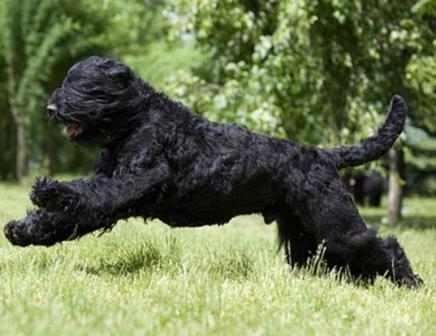 черная, лохматая собачка